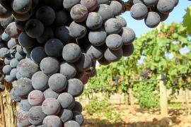 Manto Negro ist beliebtester Rotwein der Insel