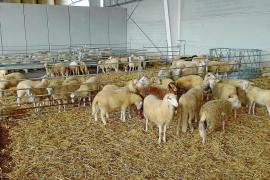Absatz von Lammfleisch deutlich zurückgegangen