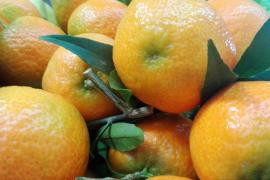 Sóllertal erlebt Clementinen- Boom in diesem Winter