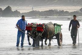 Tudanca-Rinder werden als Zugtiere am Strand trainiert.