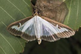 Chinesischer Schmetterling ärgert Insel-Umweltschützer
