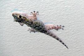 Was Geckos im Winter auf Mallorca machen