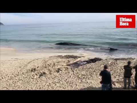 Wal auf Mallorca angeschwemmt