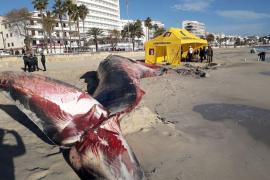 Der gestrandete Wal war krank
