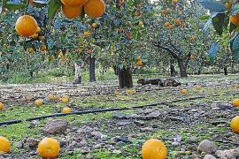 Mallorca-Orangen zu Dumpingpreisen