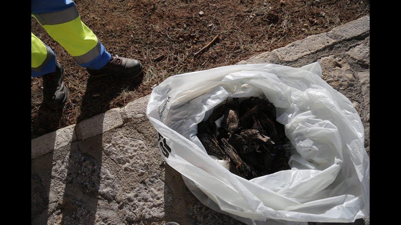 Mysteriöses Vogelsterben in Palma geht weiter