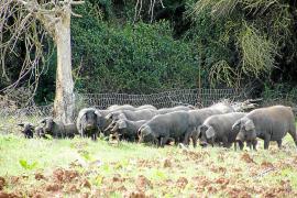 Glückliche Ökoschweine in Porreres.