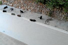 Katzeninvasion in der Cala Vinyes
