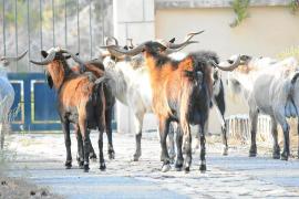 Tramuntana-Bauern wollen Ziegenfleisch verkaufen