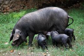 Schwarzes Schwein nebst Nachwuchs.