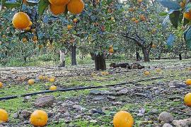 Das große Orangenfest in Sóller beginnt