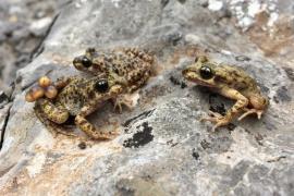 Staatliche Tierschützer setzen 51 Ferreret-Kröten aus