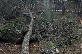 Abholzsünder in Calvià zu 63.700 Euro Strafe verdonnert