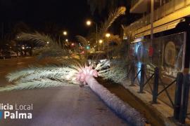 Heftige Windböen werfen zwei Palmen in Palma um