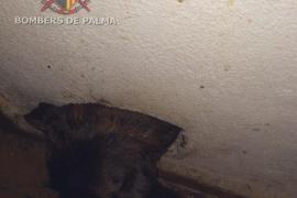 Hund verfängt sich mit Kopf in Mauerloch