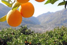 Agrarkooperative in Sóller will auf Öko-Anbau umsteigen