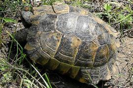 Forscher spüren Schildkröten auf Mallorca nach
