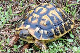 Die Griechische Landschildkröte hat eine gelbe Färbung des Panzers mit schwarzen unregelmäßigen Flecken.