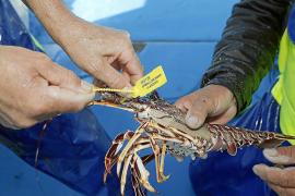 Reichlicher Langusten-Fang auf Mallorca erwartet