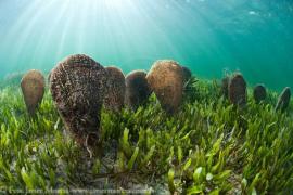 Forscher entdecken lebende Steckmuscheln vor Mallorca