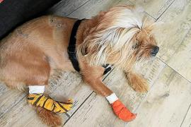 Pitbulls richten anderen Hund in Can Pastilla übel zu