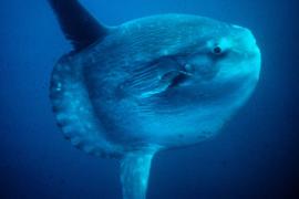 Seltener Mondfisch in der Bucht von Palma entdeckt