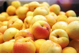Aprikosenernte auf Mallorca fällt 2019 ganz dürr aus