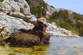Spektakuläre Aufnahme: Auch ein Geier muss mal baden