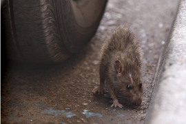Massenweise Ratten rund um Müllcontainer in Palma