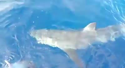 Heringshai frisst Thunfisch vor Mallorca