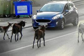 Verwilderte Ziegen dringen en masse in Andratx-Orte ein