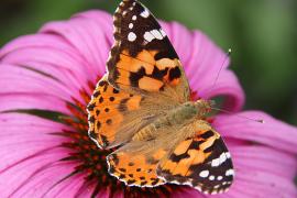 Schmetterlinge aus Afrika machen auf Mallorca Station