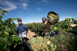 Forscher sehen Weinanbau auch auf Mallorca bedroht