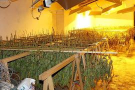 Große Hanf-Plantage auf Mallorca ausgehoben