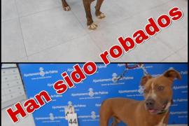 Überfall auf Mallorca-Tierheim – Pitbulls gestohlen