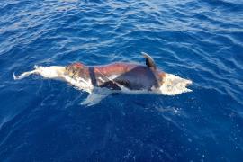 Ausflügler finden toten Delfin vor der Cala Mondragó