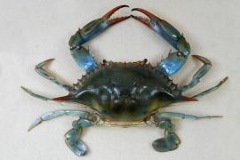 Fischer haben blaue Krebse in S'Albufera im Visier