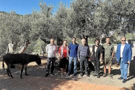 Mallorca-Olivenbauern ernten 50.000 Kilo