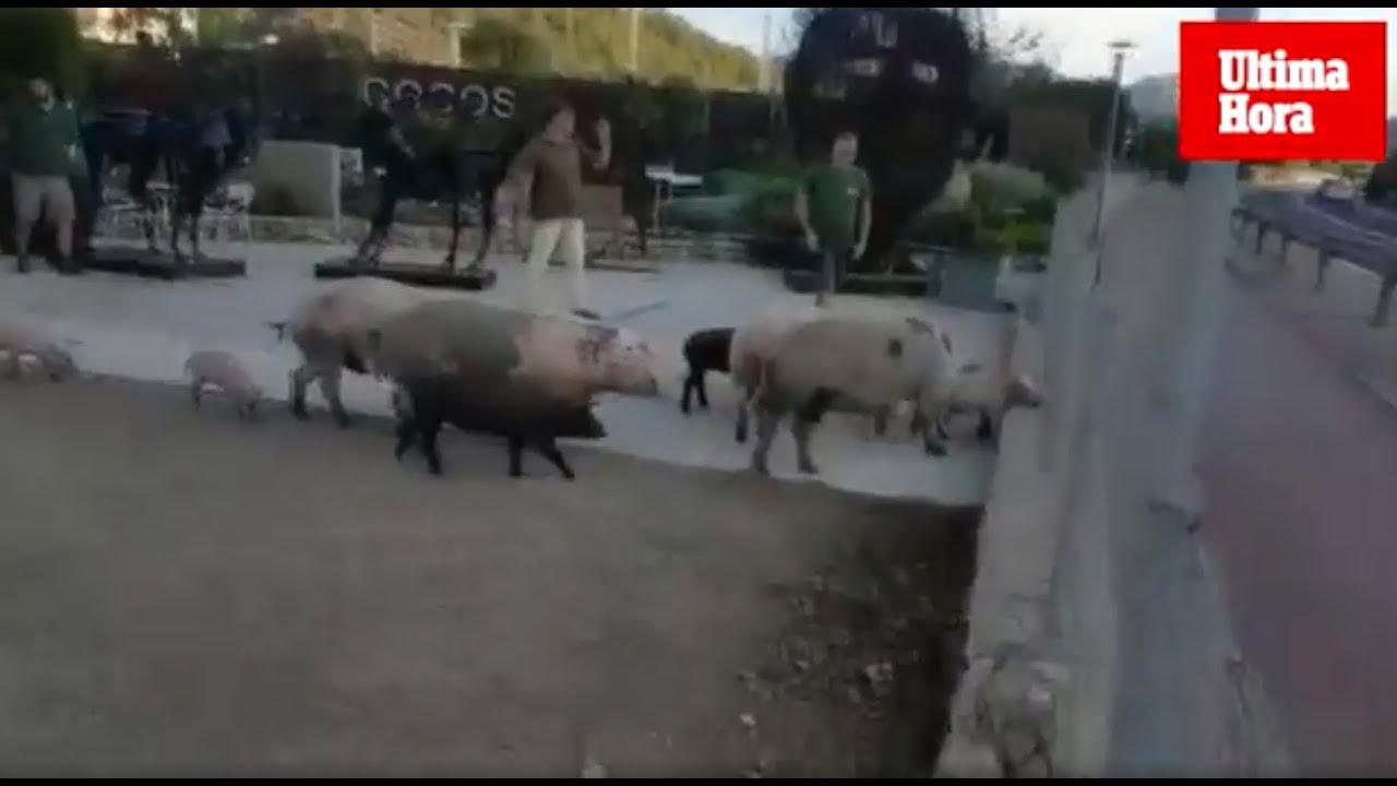 Schweinerei in Port d'Andratx: Ausgebüxte Tiere gefährden Verkehr