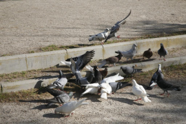 Tauben machen sich en masse in Sineu breit