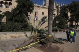 Todespalme neben der Kathedrale war kerngesund