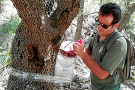 Seltsames Insekt befällt Steineichen auf Mallorca