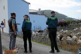 Wurden Schafe in Andratx vernachlässigt?