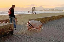 Regelmäßig an der Playa de Palma zu Gast ist dieses Schwein.