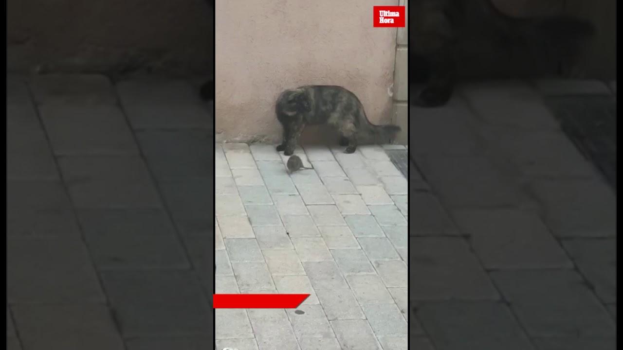 Ratten erobern Cala Millor