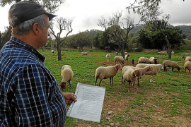 Unbekannte klauen Schafe in Andratx
