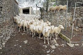Mallorquinische Schafe sind wieder auf dem Vormarsch