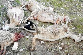 Pitbull zerfleischt Schafe und Lämmer