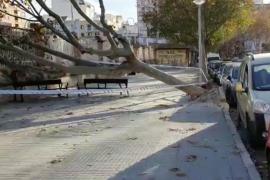 Windböen auf Mallorca reißen Bäume um