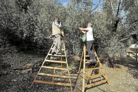 Mallorquinisches Olivenöl verkosten